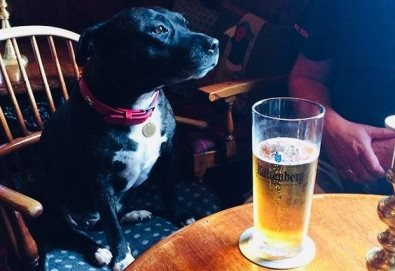 Betty, a Staffy rescue, loves to come in to the bar with some good local customers for a pint or two.