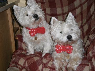 Daisy & Gilbert; these two Westies are possibly our most regular canine visitors!