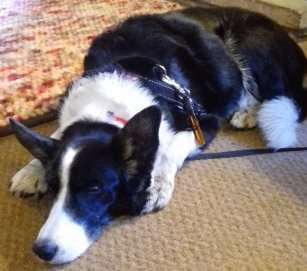 This is Meg who is just resting her eyes after a walk to Middleton-in-Teesdale