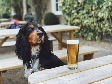 Murph the Cocker Spaniel looking very cool with his pint of lager!