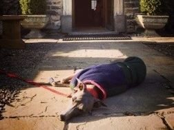 Sapphie is a tired looking whippet having a snooze at the entrance to the Rose & Crown!
